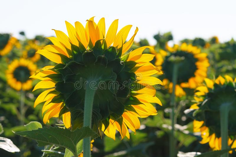 The blossoming sunflower close up against the sun royalty free stock image