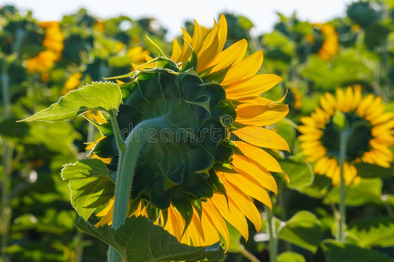 The blossoming sunflower close up against the sun stock photography
