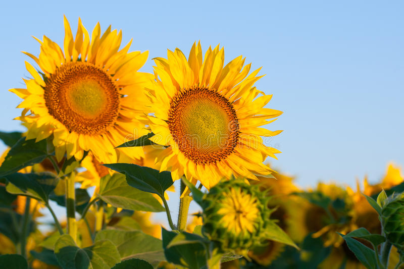 Blossoming sunflowers close-up against the blue sky stock photo