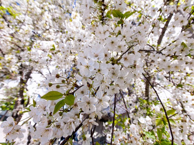 Blossoming sweet cherry royalty free stock photo
