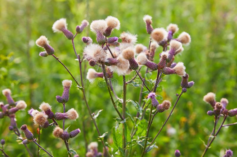 Blossoming thistle, Cirsium arvense. Wild thistle grass Cirsium arvense, Creeping Thistle in summer. White fluffy seeds waiting to be spread by wind. Blurred stock photography
