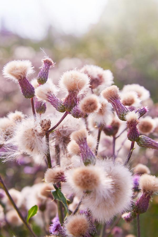 Blossoming thistle, Cirsium arvense. Wild thistle grass Cirsium arvense, Creeping Thistle in summer stock images