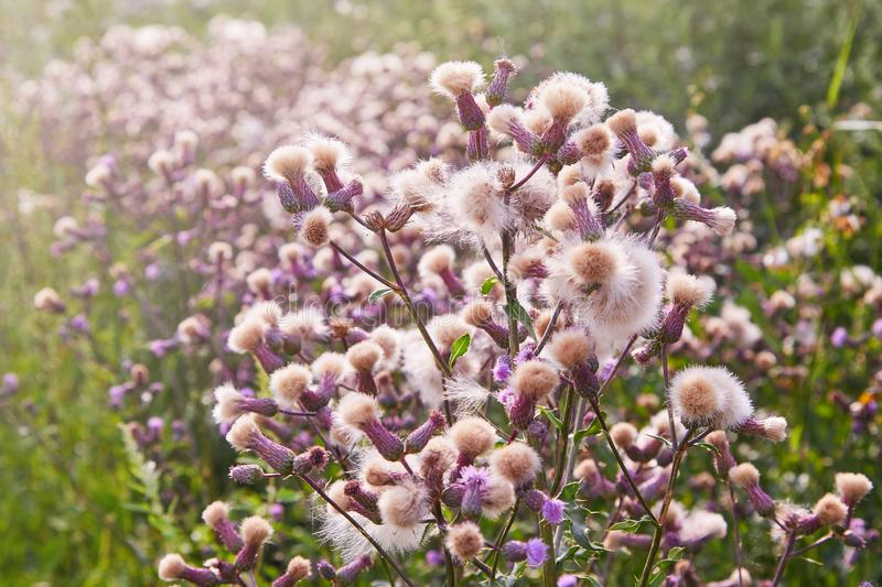Blossoming thistle, Cirsium arvense. Wild thistle grass Cirsium arvense, Creeping Thistle in summer. White fluffy seeds waiting to be spread by wind. Blurred stock photo