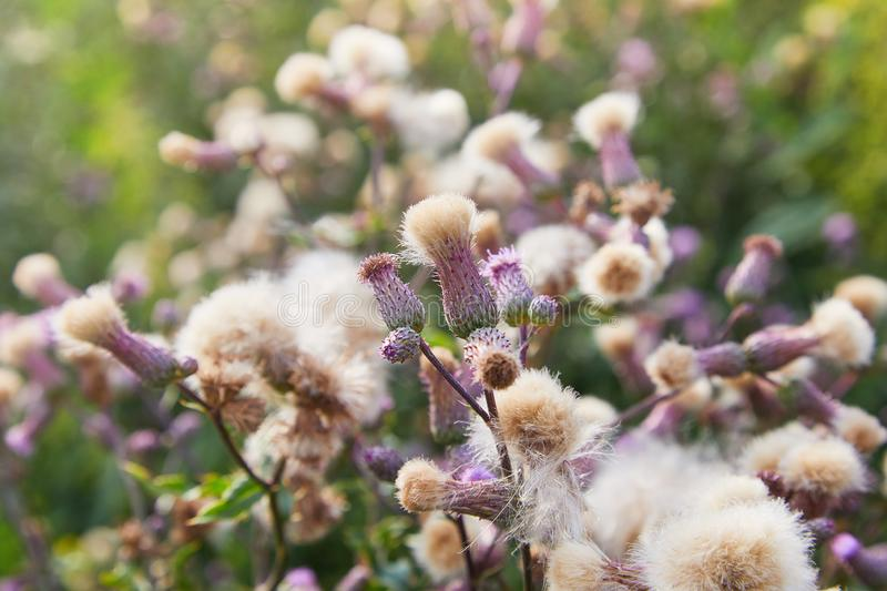 Blossoming thistle, Cirsium arvense. Wild thistle grass Cirsium arvense, Creeping Thistle in summer. White fluffy seeds waiting to be spread by wind. Blurred stock image