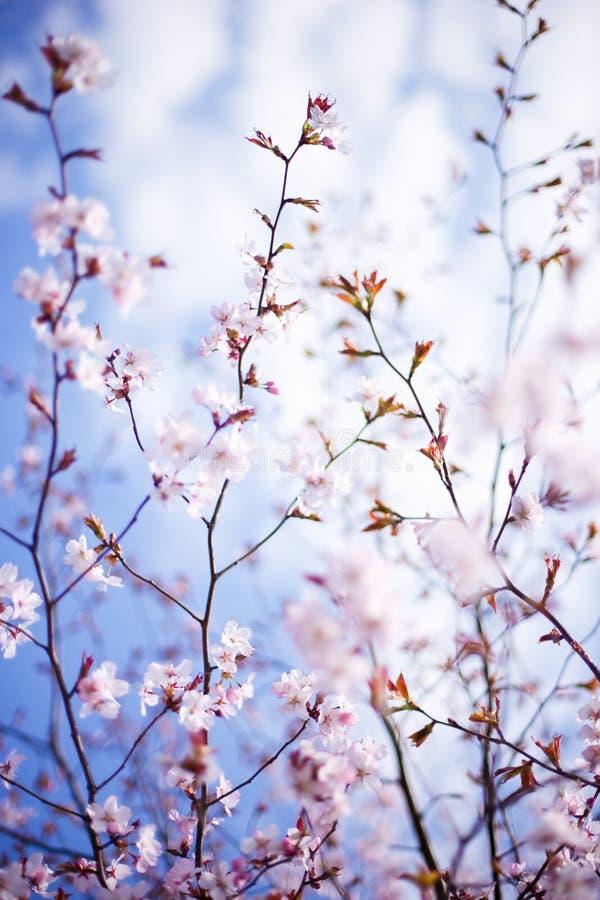 Blossoming tree royalty free stock photo