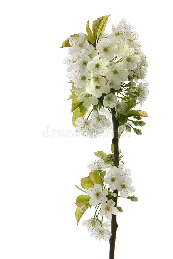 Blossoming Tree Branch Stock Photos