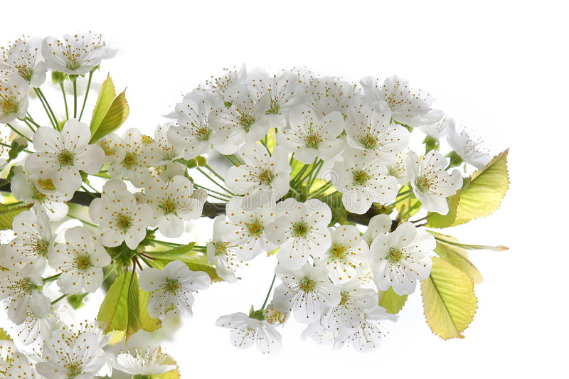 Download Blossoming tree branch stock image. Image of garden, leaf - 4966693