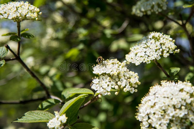 Blossoming Tree Branch in The Forest royalty free stock photography