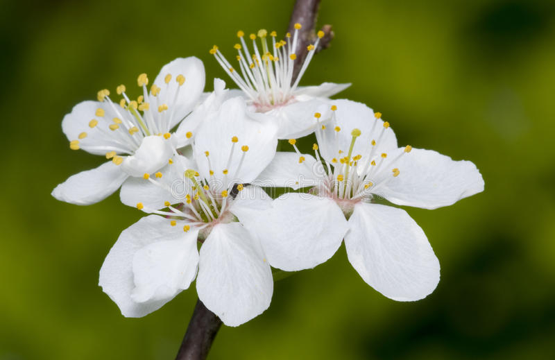 Download Blossoming tree brunch stock image. Image of detail, branch - 24707903