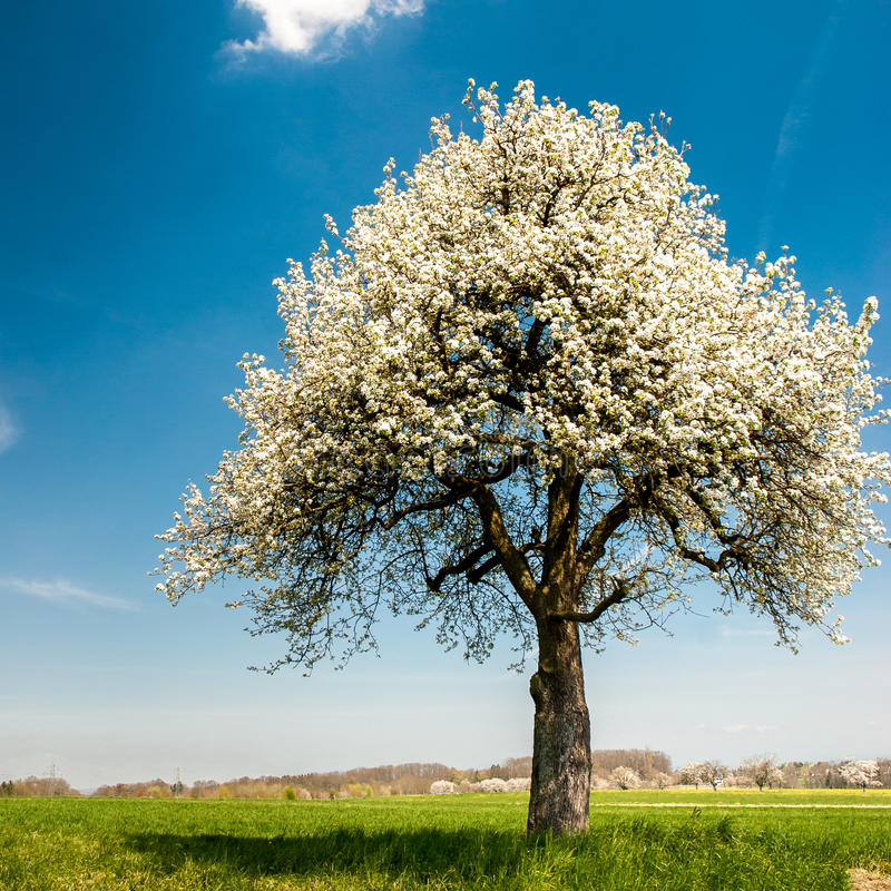 Free Blossoming Tree In Spring Stock Photos - 24298843