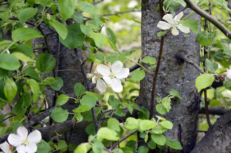 Blossoming tree in spring. Close-up, texture of natural bark. royalty free stock photos