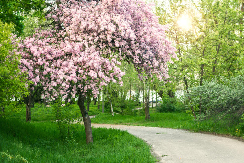 Blossoming tree in spring park. Pink blossoming tree in the spring park royalty free stock photo