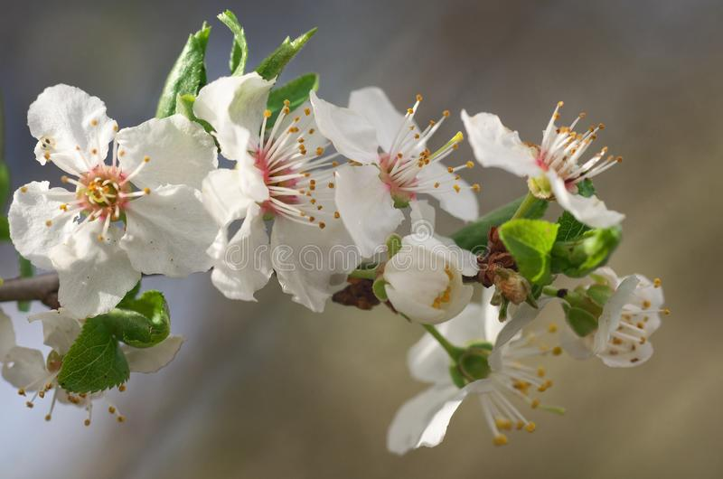 Blossoming tree - close up. Beautiful macrophotography with soft background and blossoming tree in  fron of the picture. photo was taken during spring stock photos