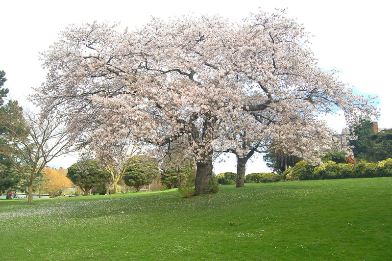Blossoming trees. In Greenlake Park, Seattle Washington royalty free stock photography