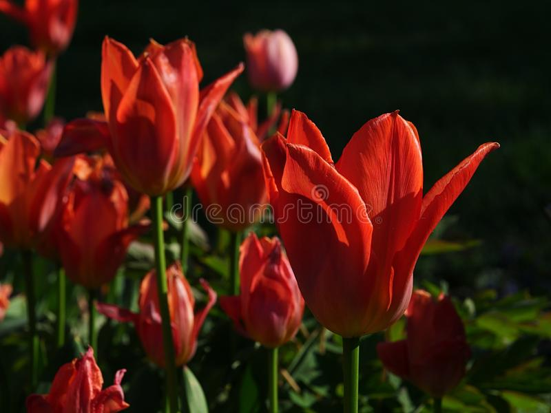 Blossoming tulip flowers of Orange Emperor hybrid kind, also called Fosteriana tulip. In afternoon spring sunshine stock photography