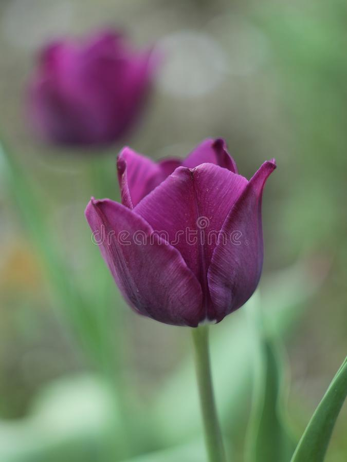 Tulip in the garden royalty free stock image