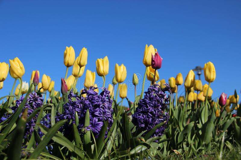Hyacinth And Tulips. Blossoming Blue Hyacinth And Yellow Tulips In Spring Gardens With Warm Sunny And Clear Indigo Blue Sky.   Europe stock image