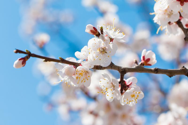 Blossoming twig of cherry-tree against the background of the blue sky.  Spring flowers blossom background. royalty free stock photos