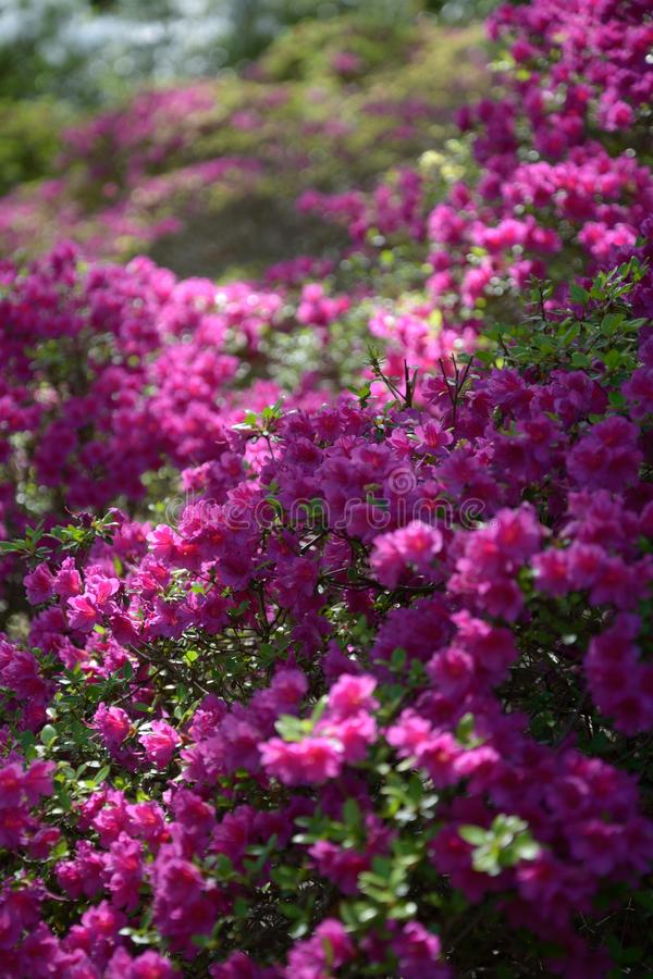 Blossoming violet flowers in spring in botanical garden. stock photography