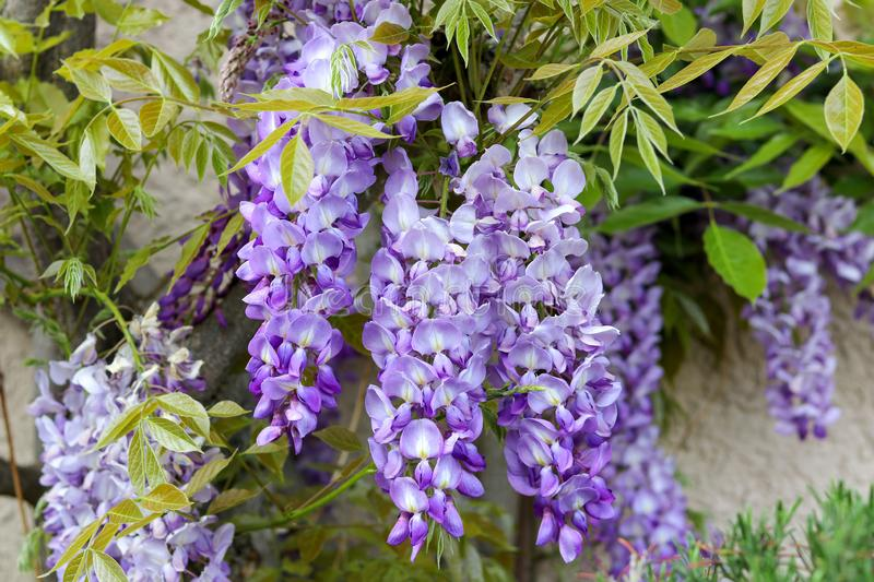 Blossoming violet wisteria flowers with young spring green leaves on the house wall stock images