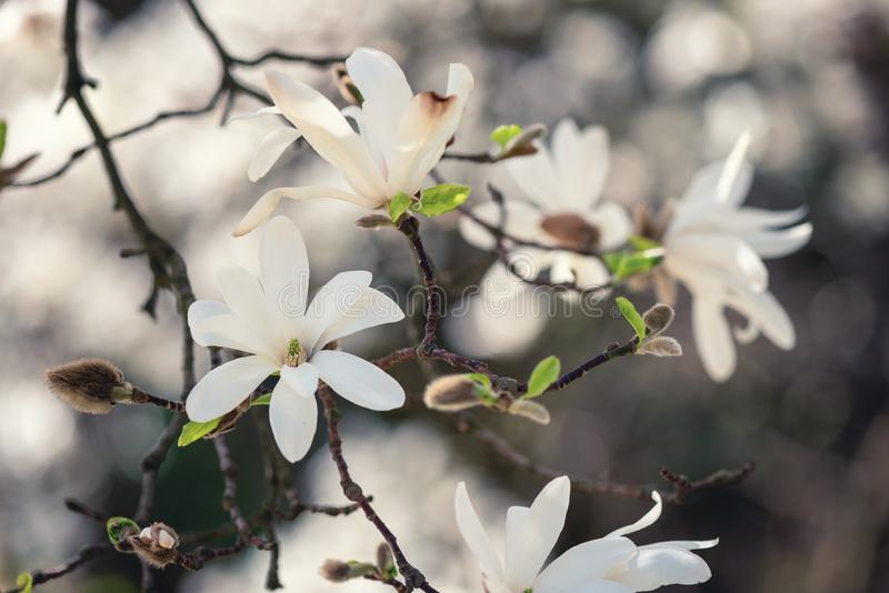 Blossoming white flower background, natural wallpaper, flowering magnolia kobus branch in spring garden stock photography