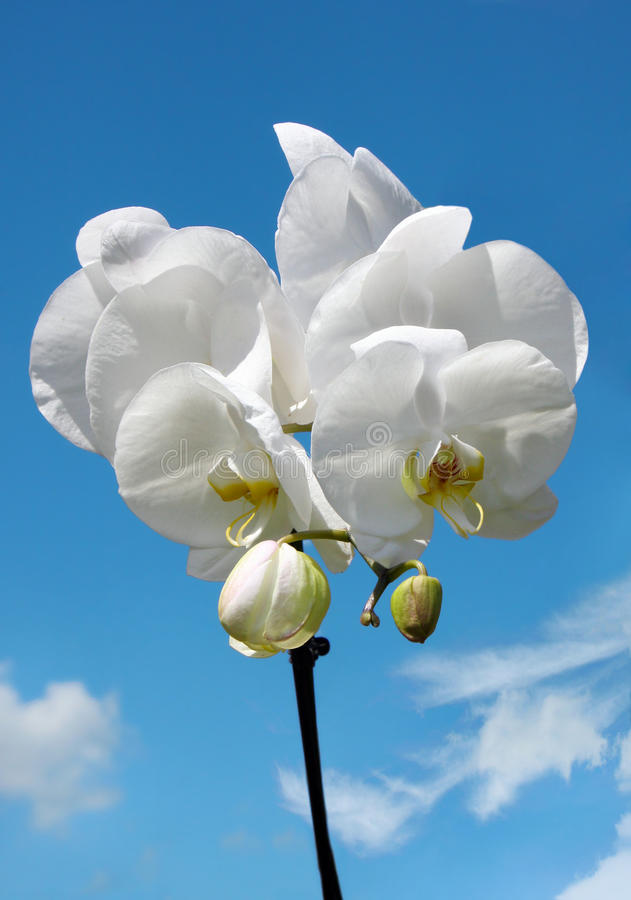 Blossoming white flower orchid in clouds royalty free stock photos