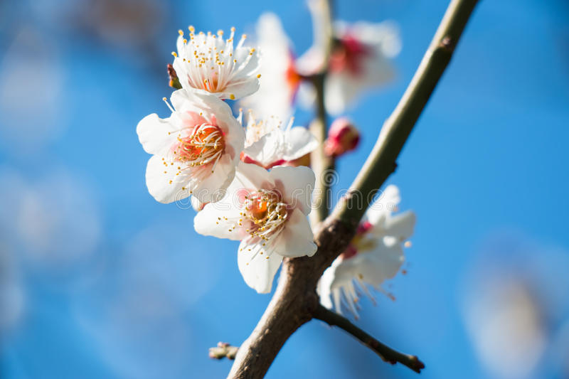 Blossoming white plum flowers stock image image of flora fresh download blossoming white plum flowers stock image image of flora fresh 68182171 mightylinksfo