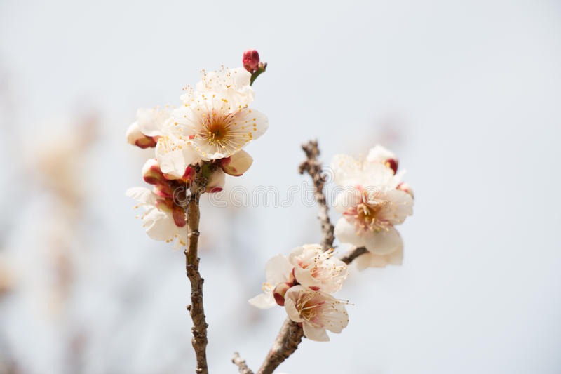Blossoming white plum flowers. In japan stock photo