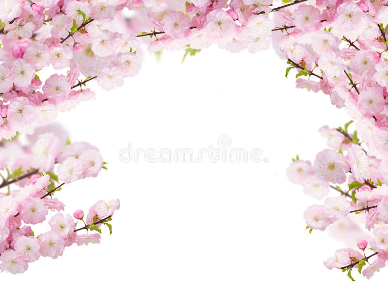 Blossoming white tree Flowers. Blossoming tree pink flowers branch on white background stock photography