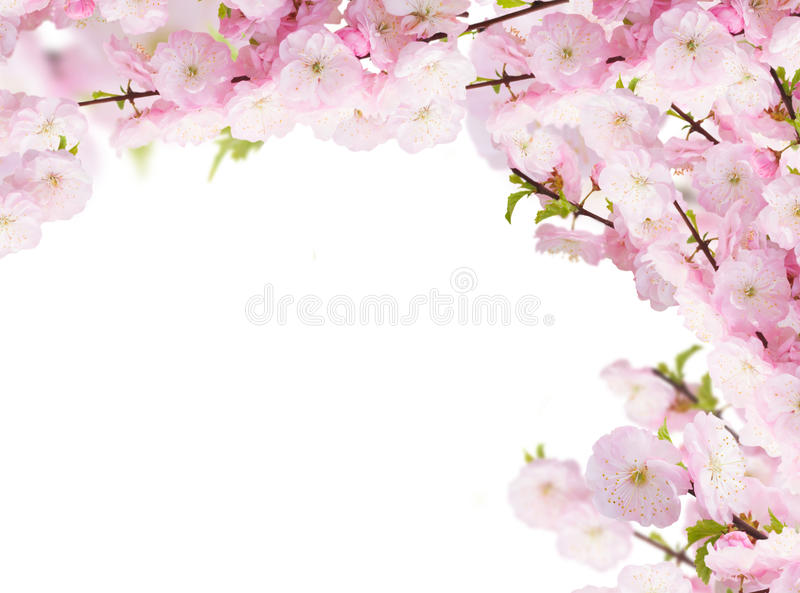 Blossoming white tree Flowers. Blossoming tree pink flowers branch on white background stock image
