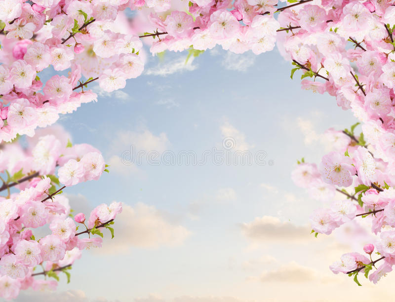Blossoming white tree Flowers. Blossoming tree pink flowers branch on blue sky background royalty free stock photography