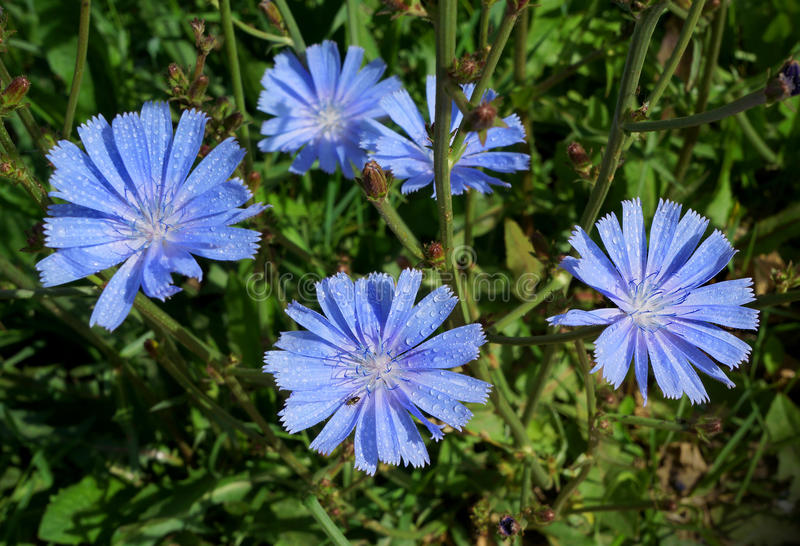 Blossoming wild flowers chicory. In a summer season stock photo