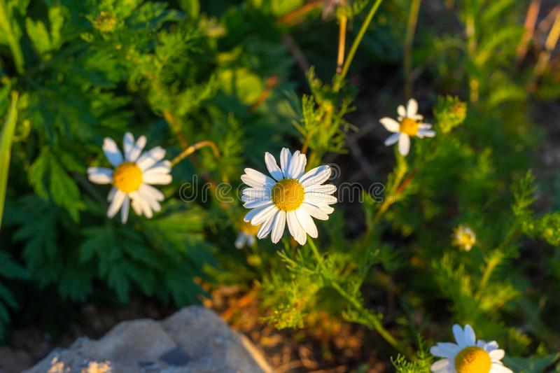 Blossoming wild white and yellow camomile flowers on green leaves and grass background in summer. stock photo