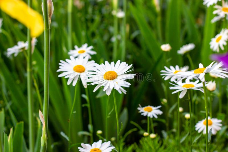 Blossoming wild white and yellow camomile flowers on green leaves and grass meadow background in summer. Soft selective focus. Blossoming wild white and yellow stock photos