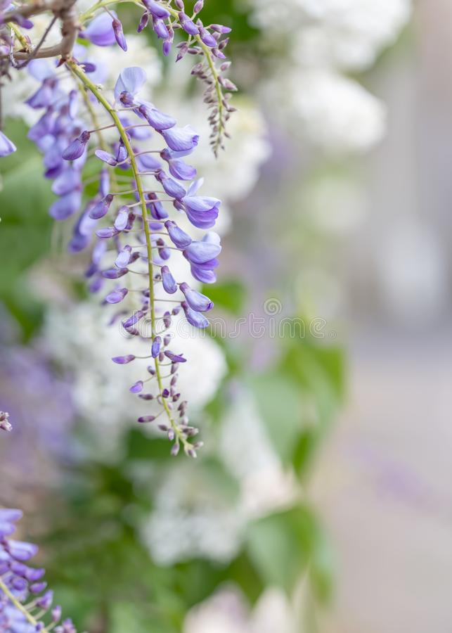 Blossoming wisteria branch in a garden. Nature wallpaper royalty free stock photo