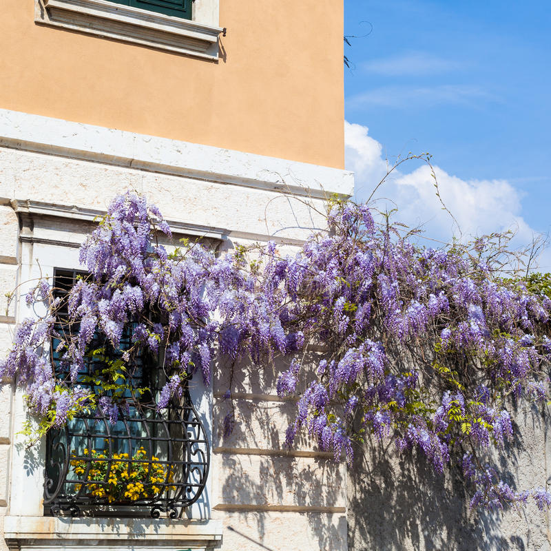 Blossoming wisteria plant on wall of urban house royalty free stock photos