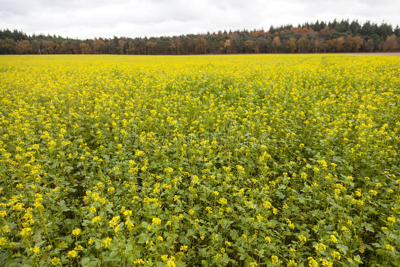 Blossoming yellow mustard seed on field near forest in autumn co stock photography