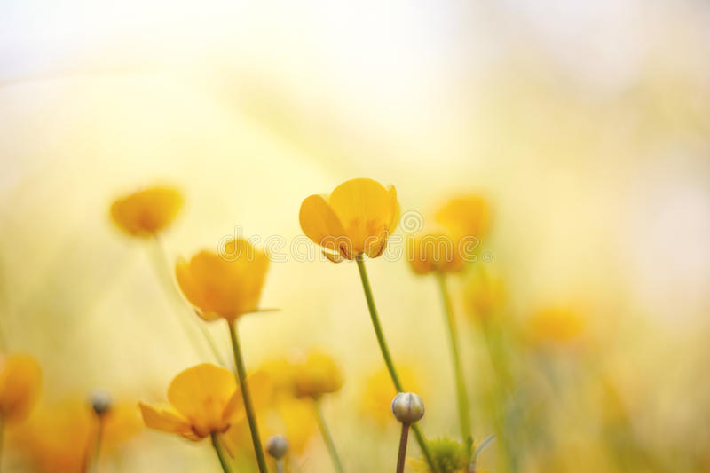 Blossoming yellow wild flowers - buttercups. The blossoming summer yellow wild flowers - buttercups stock photography