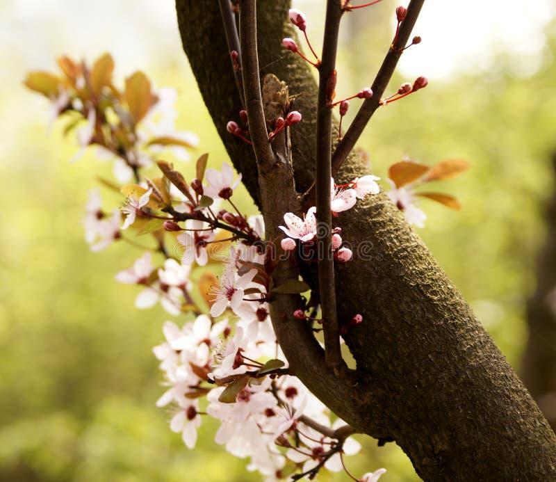 Blossomming av det körsbärsröda trädet i vår arkivfoton