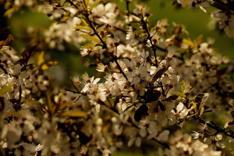 Blossomming av det körsbärsröda trädet parkerar in i vår arkivfoto
