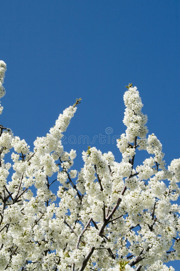 Blossoms. Branches of white fruit blossoms against blue sky royalty free stock image