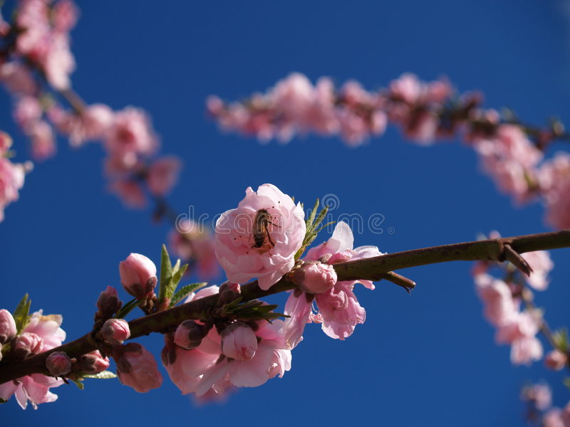 Blossoms royalty free stock images