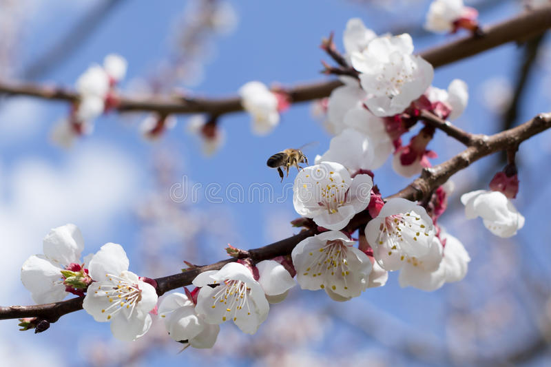 Blossoms and bees. Branch with blossoms and bee in flight royalty free stock image