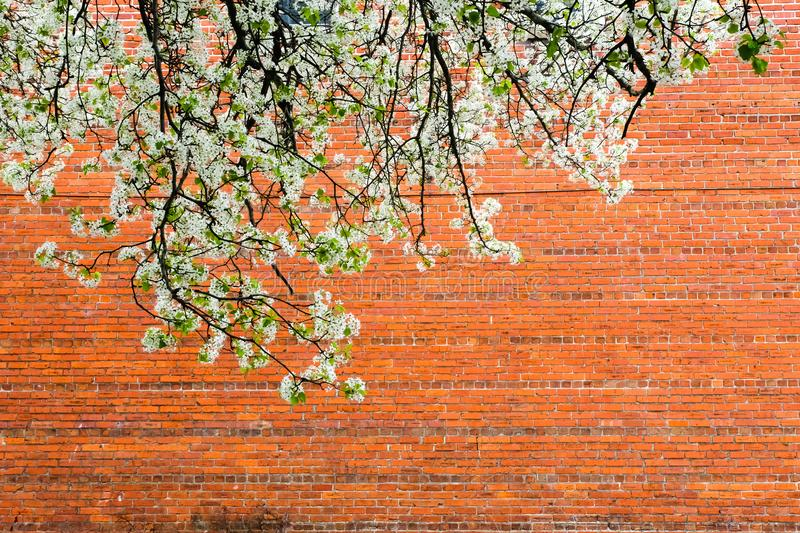 Blossoms with a brick wall stock image