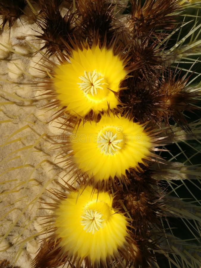 Blossoms of cactus stock photo