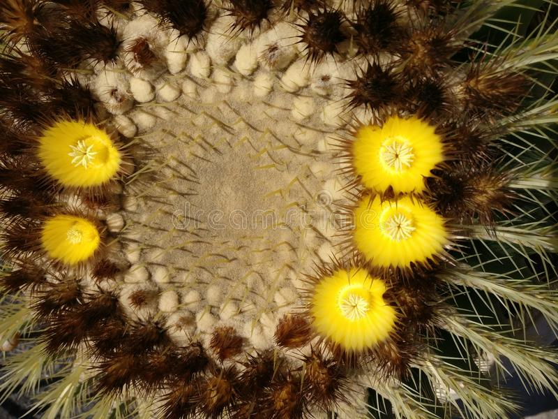 Blossoms of cactus 2 stock photo
