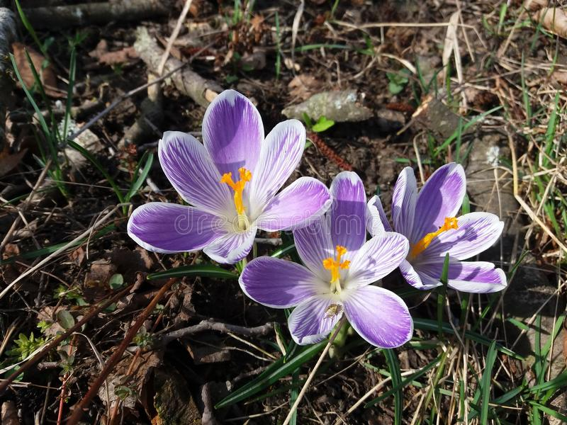 Blossoms of crocus, purple and white striped. Photo. One of the first flowers to bloom after winter royalty free stock photos