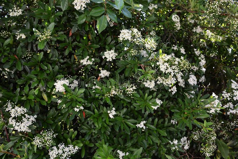 Blossoms of fire thorn. Pyracantha stock images