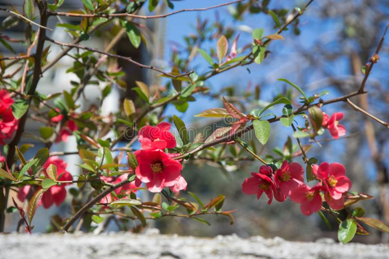 Red Flower spiny Shrub - Chaenomeles speciosa on blue sky background, spring season, beautiful springtime, tiny colorful red flowe. Blossoms of Japanese Quince royalty free stock photos