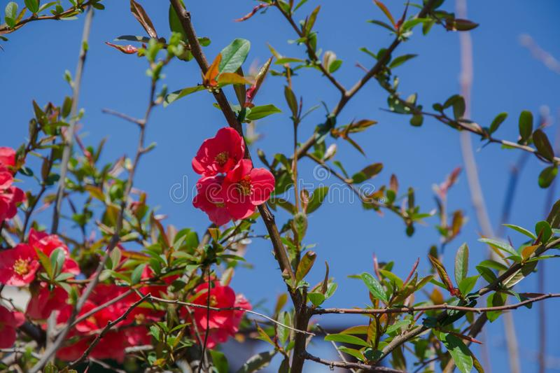 Red Flower spiny Shrub - Chaenomeles speciosa on blue sky background, spring season, beautiful springtime, tiny colorful red flowe. Blossoms of Japanese Quince stock image